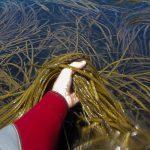 Cómo elegir una buena alga